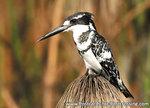 dierenkaarten Afrika Bonte ijsvogel, bird postcard Africa Pied kingfisher, Postkarte Afrika Tiere Graufischer