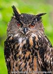 Uilenkaarten ansichtkaartvogel Europese Oehoe, owl postcards Eurasian eagle owl, postkarte Eulen Uhu