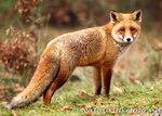 vos kaart, ansichtkaart vos, wild animal postcard fox, Postkarte Fuchs