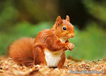 ansichtkaart eekhoorn kaart, postcard Squirrel card, Eichhörnchen Post karte