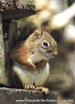 dierenkaarten, ansichtkaart Hudson eekhoorn, Zoo animals postcards American red squirrel, Postkarte Gemeines Rothörnchen