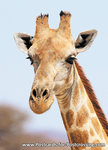 dierenkaart Afrika Angola Giraffe, animal postcard Africa Angolan giraffe, Angola Giraffe Postkarte