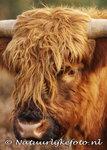 ansichtkaart Schotse hooglander kaart,  postcard Scottish Highlander, Tier postkarte Schottenmuster