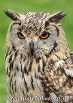 Oehoe kaart ansichtkaart, owl postcards owl, postkarte Eulen Uhu