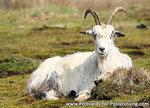 ansichtkaart geit kaart, goat postcard, Postkarte Ziege