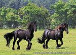 ansichtkaart Friese paarden kaart, postcards Friesian horses, postkarte Friesen Pferde