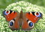 Ansichtkaart vlinder Dagpauwoog