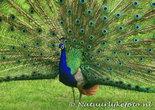 Kaart Pauw, bird postcard peacock, Vogel postkarten Pfau