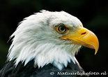 ansichtkaart Amerikaanse zeearend kaart - postcard Bald eagle - Postkarte Weisskopfseeadler