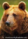 ansichtkaart Kodiakbeer kaart, postcards Kodiak bear, Zoo Tier Postkarten Kodiakbär