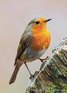 ansichtkaart Roodborstje kaart, postcard Robin, PostkarteRotkehlchen