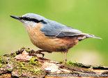 ansichtkaart Boomklever kaart, bird postcard Eurasian nuthatch, Vögel Postkarte Kleiber