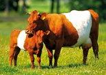ansichtkaart Lakenvelders kaart, animal postcards Dutch belted cows, postkarte Lakenvelder Rind