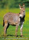 ansichtkaart ezel kaart, Donkey postcards, Tiere postkarten Hausesel
