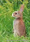 kaart konijntje, wild animal postcard European rabbit, Tierpostkarte Wildkaninchen
