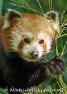 ansichtkaarten dieren Kleine Panda, postcards zoo animals Little panda, Postkarten Tiere im Zoo Kleiner Panda
