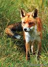 ansichtkaart vos - postcard fox - postkarte Fuchs