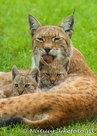 Lynx kaart, ansichtkaart, Zoo animals postcards Lynx, Zoo Tier Postkarte Luchs