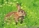 dierenkaart wilde dieren konijn, wild animal postcard rabbit, Tierpostkarte Wildkaninchen