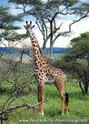 dierenkaarten ansichtkaart dieren Afrika Masai Giraffe, postcard animals in Africa Masai Giraffe, Postkarte Tiere Afrika Masai