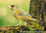 vogelkaarten, ansichtkaart bos vogels Groenling, postcardforest birds European greenfinch, Postkarte waldvögelGrünfink