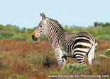 dierenkaarten ansichtkaart dieren Afrika Kaapse bergzebra, postcard animals in Africa Cape mountain zebra, Postkarte Tiere Afri