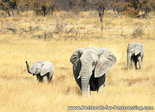 dierenkaarten ansichtkaart dieren Afrikaanse olifant, postcard animals African elephant, Postkarte Afrikanische Elefanten