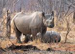 dierenkaarten ansichtkaart dieren Afrika Zwarte neushoorn , postcard animals in Africa Black Rhinoceros, Postkarte Afrika Tiere