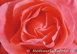 bloemen kaarten, ansichtkaart bloemen roos - flower postcards rose - blumen Postkarten rose