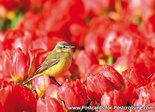 vogelkaarten, ansichtkaarten vogels Gele kwikstaart - bird postcardsWestern yellow wagtail - postkarte Vögel Sch