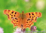 Butterfly-Polygonia-c-album-(0408)