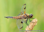 Ansichtkaart Viervlek libelle - Postcard Dragonfly Four-spotted chaser - Postkarte / Ansichtskarte Vierfleck libelle
