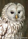 vogelkaarten ansichtkaartvogel Oeral uil, owl postcards Ural owl, postkarte Eulen Habichtskauz