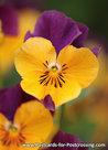 Bloemen kaarten, ansichtkaart bloemen viooltje - viola postcard - blumen Postkarten Veilchen