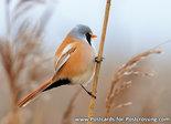 vogelkaarten baardmannetje, bird postcards Bearded reedling, Postkarte Bartmeise