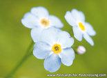 Bloemen kaarten, ansichtkaart Akkervergeet-me-nietje - flower postcards Field forget-me-not - blumen Postkarten Acker-Vergissme