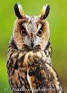 uilenkaarten ansichtkaartuilen Ransuil, owl postcards Long eared owl, Eulen postkarten  Waldohreule