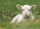 ansichtkaart lammetje, lamb postcard, Lamm postkarte