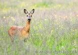 ree kaart, ansichtkaarten ree, animal postcard deer, Tier Postkarte Reh