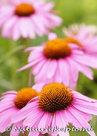 bloemen kaarten, ansichtkaart bloemen Zonnehoed - flower postcards Coneflower - blumen Postkarten Sonnenhut