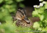 vogelkaarten, ansichtkaarten vogels Eend, bird postcards Duck, postkarte vögel Ente