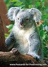 Ansichtkaart Koala kaart, Koalapostcard, Postkarte Koala