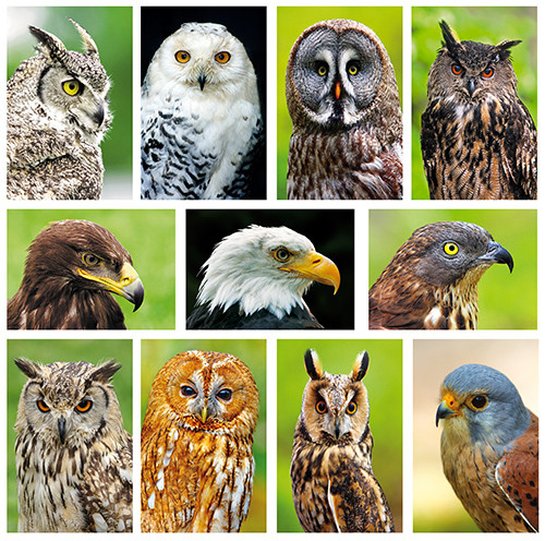 postcard set raptors