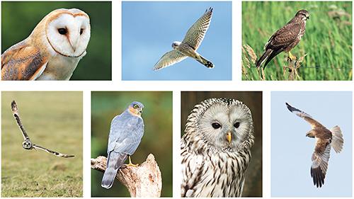 Owl / raptor postcard set