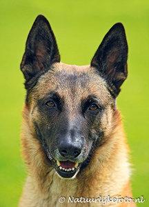 Ansichtkaart hond Mechelse herder, postcard Belgian Shepherd dog, Postkarte Belgischer Schäferhund