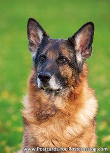 German Shepherd (0555)