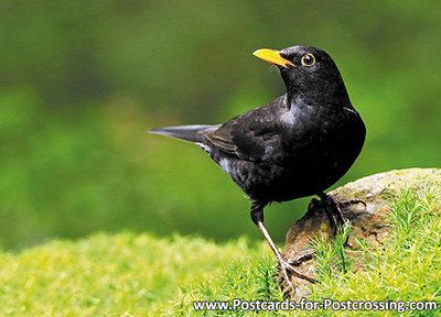 ansichtkaart bosvogels vogels Merel, forest bird postcard Common blackbird, Postkarte WaldvogelAmsel