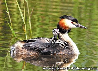 vogelkaarten, ansichtkaarten vogels Fuut met jongen, bird postcards Grebe with young, Vögel postkarte Taucher mit jungen