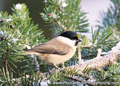 ansichtkaart Glanskop kaart, bird postcard Marsh tit, VögelPostkarte Sumpfmeise