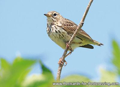 ansichtkaartgraspieper kaart - bird postcard Meadow pipit - Vögel Postkarte Wiesenpieper